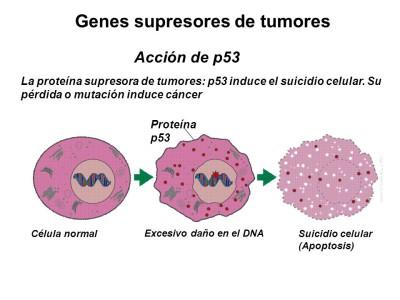 Acción de p53. La proteína supresora de tumores: p53 induce el suicidio celular. Su pérdida o mutación induce cáncer. Proteína p53. Célula normal. Excesivo daño en el DNA. Suicidio celular (Apoptosis)